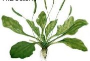 گیاه پلنت و خاصیت های درمانی