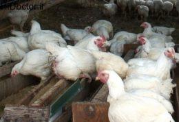 یک دنیا خاصیت برای پای مرغ