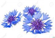 گل گندم و رفع عارضه های مختلف در بدن