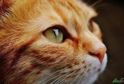 گربه خانگی مانعی برای سرطان تخمدان در زنان