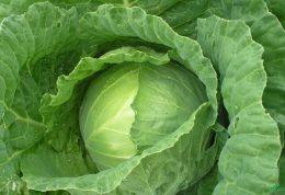 بررسی ویژگی های درمانی کلم سبز