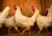 در امان ماندن از شر پشه مالاریا با کمک مرغ ها