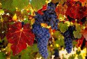 برای درمان فشار خون انگور بخورید