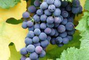 مصرف انگور نقش مهمی در سلامت چشم ایفا میکند