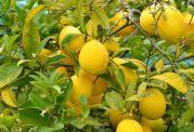 به این دلایل، نوشیدن آب لیمو ترش را جدی بگیرید