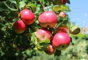 سیب نشسته، سلامت انسان را تهدید میکند