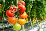 سمی بودن گوجه و این نشانه ها