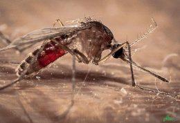 افزایش مبتلایان به ویروس زیکا و تب دنگی