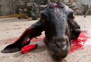 پیامدهای تماشای قربانی کردن حیوانات