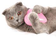 بررسی امراض قلبی گربه