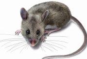 محققان ایرانی موفق به تولید نانو پودرغیرسمی کشنده موش شدند