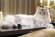 بررسی نژاد گربه سایبرین