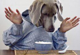 برنج دادن به سگ، از پخت تا آلرژی