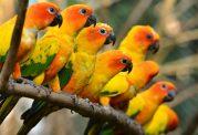سان کانور، طوطی خورشیدی رنگ