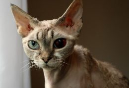 از بیماری توکسوپلاسموز در گربه سانان چه میدانید؟!