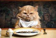 تهیه غذای سالم برای گربه