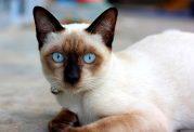 گربه سیامی همدم افراد تنها