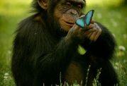بررسی توانایی های فکری شامپانزه