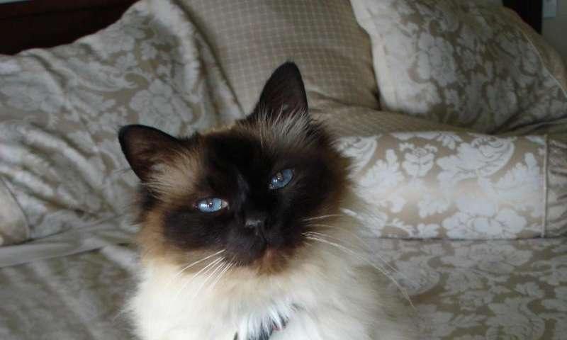 علائم ابتلای گربه به دیابت