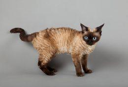 گربه های بدون آلرژی