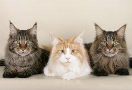 واکنش های رفتاری گربه ها هنگام بلوغ جنسی