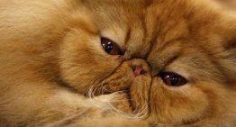 بررسی نشانه های امراض قندی در گربه ها