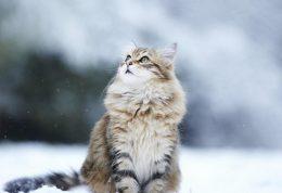 آیا سرماخوردگی انسان به گربه انتقال پیدا میکند؟