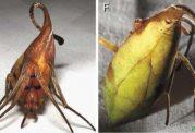 گونه جدیدی عنکبوت با ظاهری شبیه به برگ کشف شد