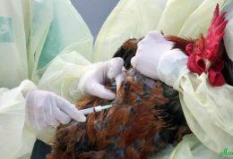صحبت های وزارت بهداشت در خصوص آنفلوآنزای مرغی