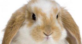 خرید و تهیه خرگوش خانگی