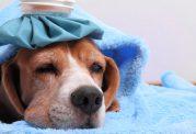 سرماخوردگی سگ خانگی