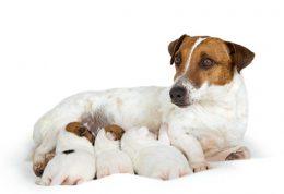 تغذیه سگ آبستن و شیرده