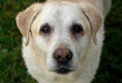 آموزش مراقبت از سگ مسن
