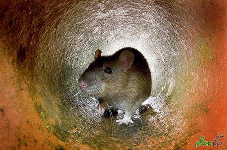 برنامه مسئولان پاریس برای کاهش جمعیت موشهای خیابانی