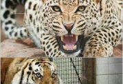 چه حیوانی بقای پلنگ ایرانی را تهدید می کند؟