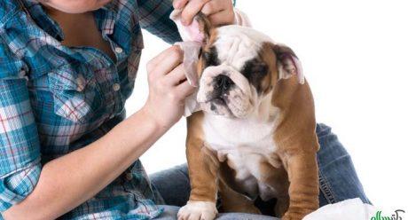 مراقبت بیشتر از گوش سگ