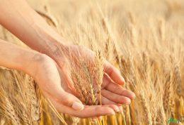 عصاره گندم جوانه زده چیست و چه خاصیتی دارد؟