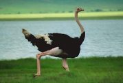 مواردی که باید در خصوص روغن شتر مرغ بدانید-بخش دوم