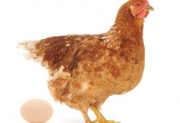 پیشگیری از ابتلا به آنفولانزا با مصرف مرغ