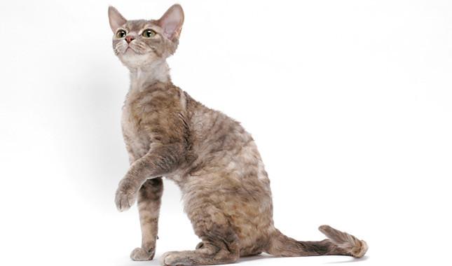 بررسی ویژگی های گربه رکس