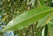 7 مسکن قوی گیاهی را بشناسیم
