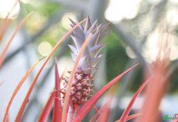دستکاری دی ان ای آناناس