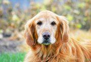 مراقبت های لازم برای سگ پیر خانگی