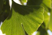 درمان های مختلف با گیاه جینکو