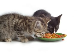 اصول مهم برای غذا دادن به گربه ها