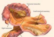 کشف یک عضو جدید در سیستم گوارش بدن