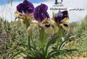 گیاه حکیم ابوالقاسم فردوسی ثبت شد
