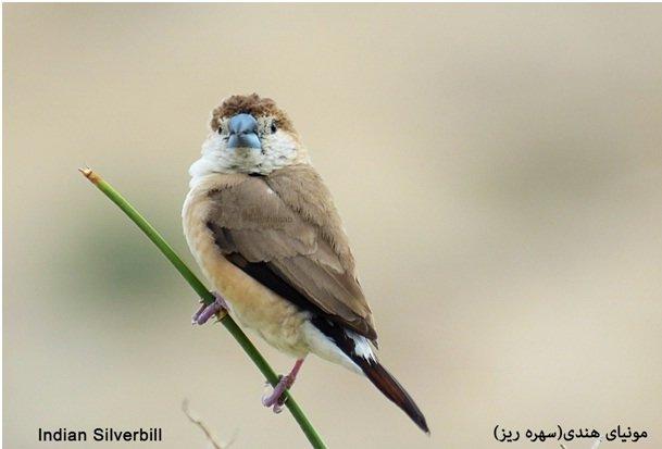 مشاهده و ثبت مونیای هندی پرنده کمیاب ایرانی