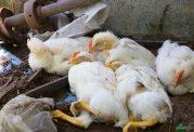 از آنفلوانزای حاد پرندگان گزارشی ارائه نشده است