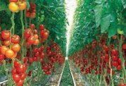 آیا مصرف گیاهان تراریخته کار درستی است؟